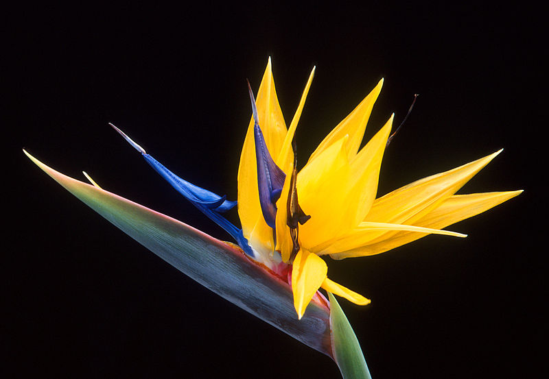 bird-of-paradise-strelitzia-reginae