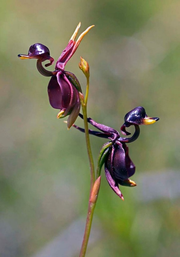 flying-duck-orchid-caleana-major
