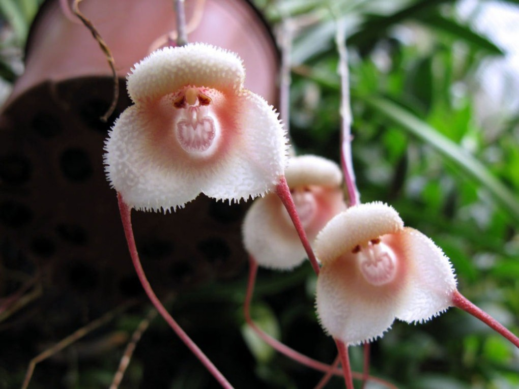 monkey-face-orchid-dracula-simia