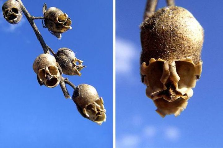 snap-dragon-seed-pod-antirrhinum
