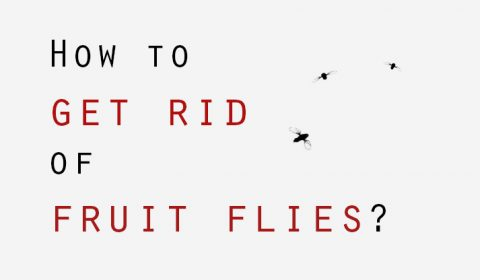 How to get rid of fruit flies?