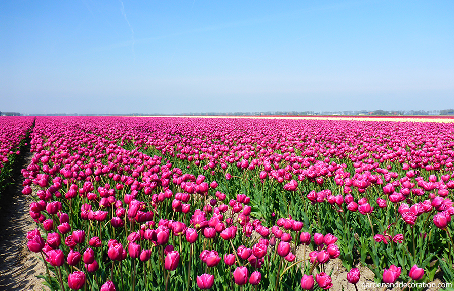Pink tulip field in the Netherlands