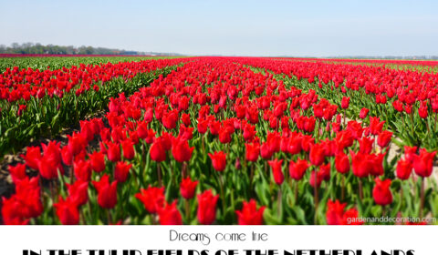 Between tulip fiels in the Netherlands